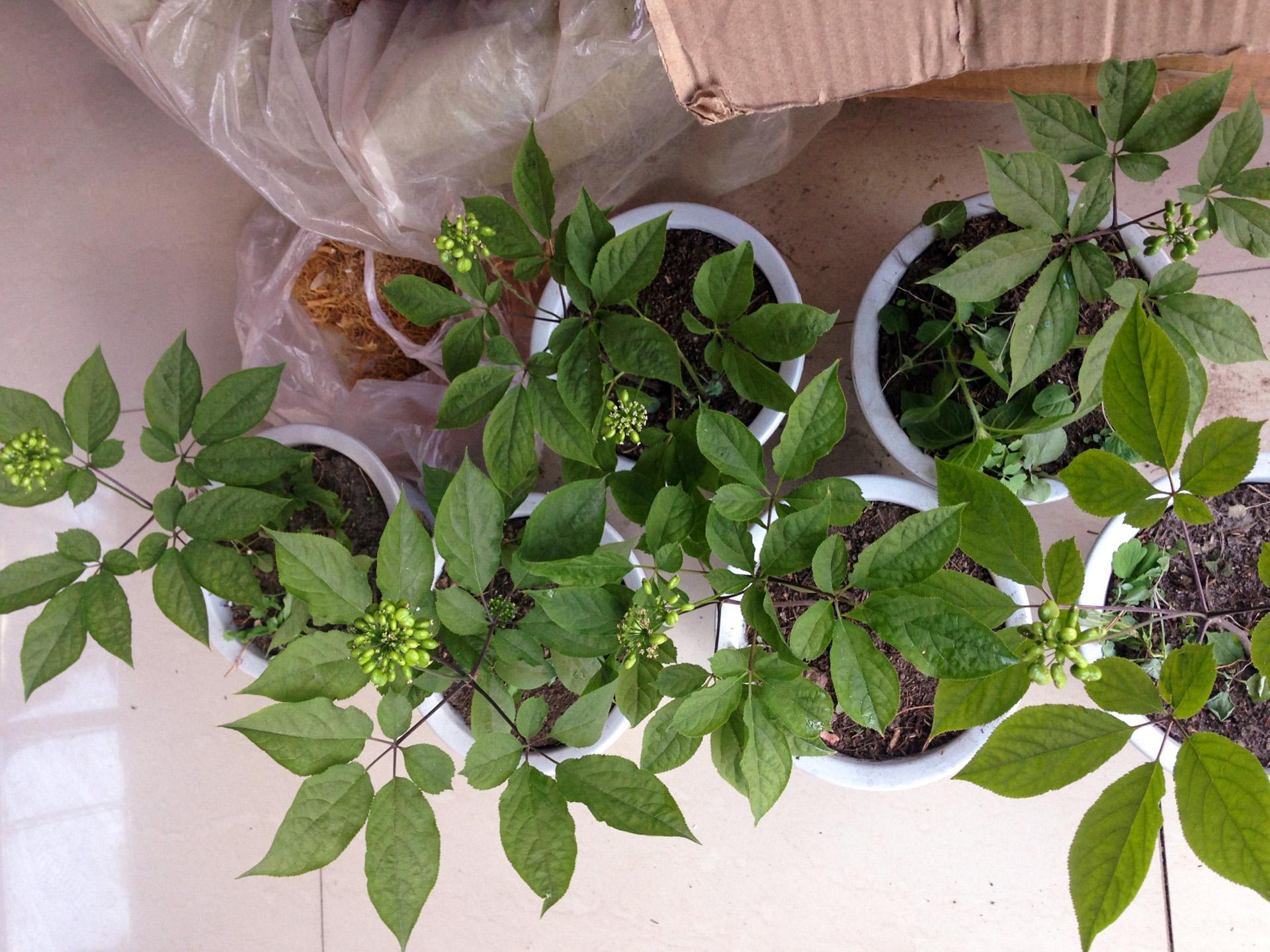 Ženšenio augalas (ginseng)