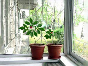 Ženšenio auginimas vazone