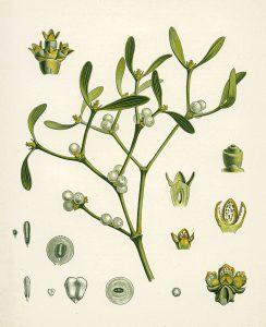 Amalas botanikoje (viscum album)