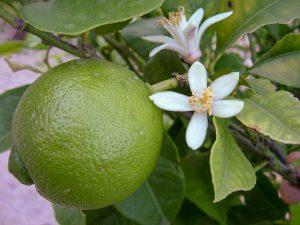 Bergamotinė citrina