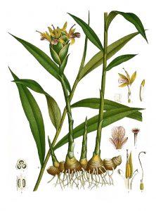 Imbieras botanikoje