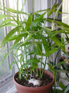Imbiero auginimas vazone