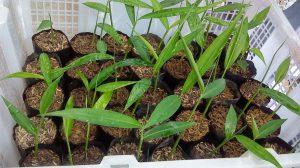 Imbiero šaknies auginimas
