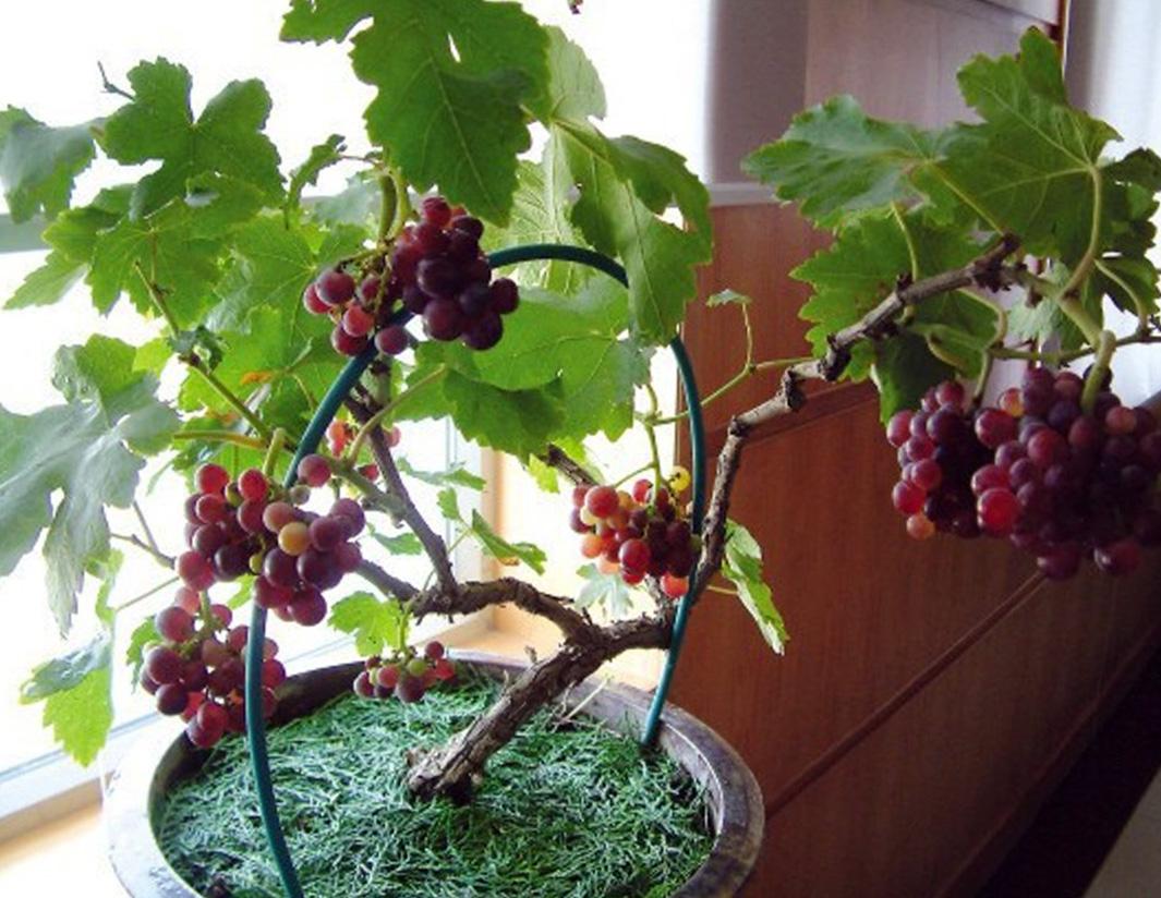 Kambariniai vaismedžiai (vynuogė namuose)