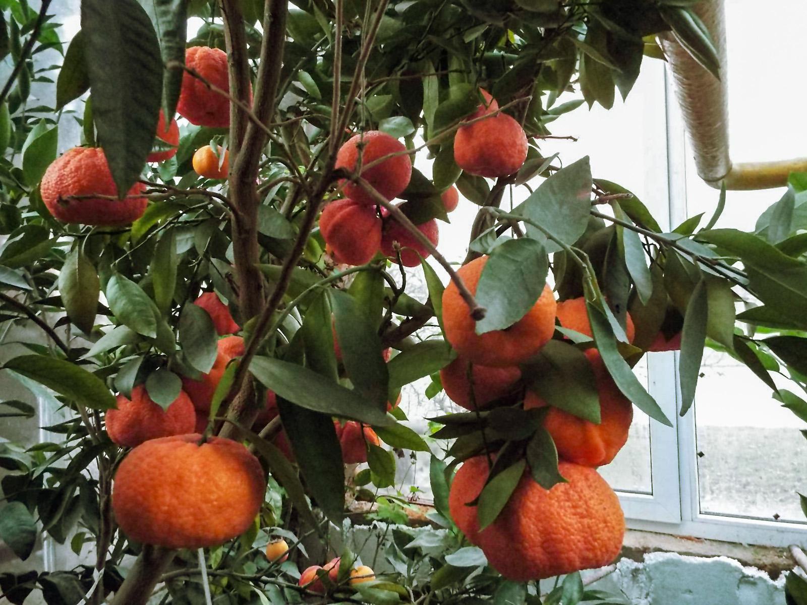 Kambarinis apelsinas