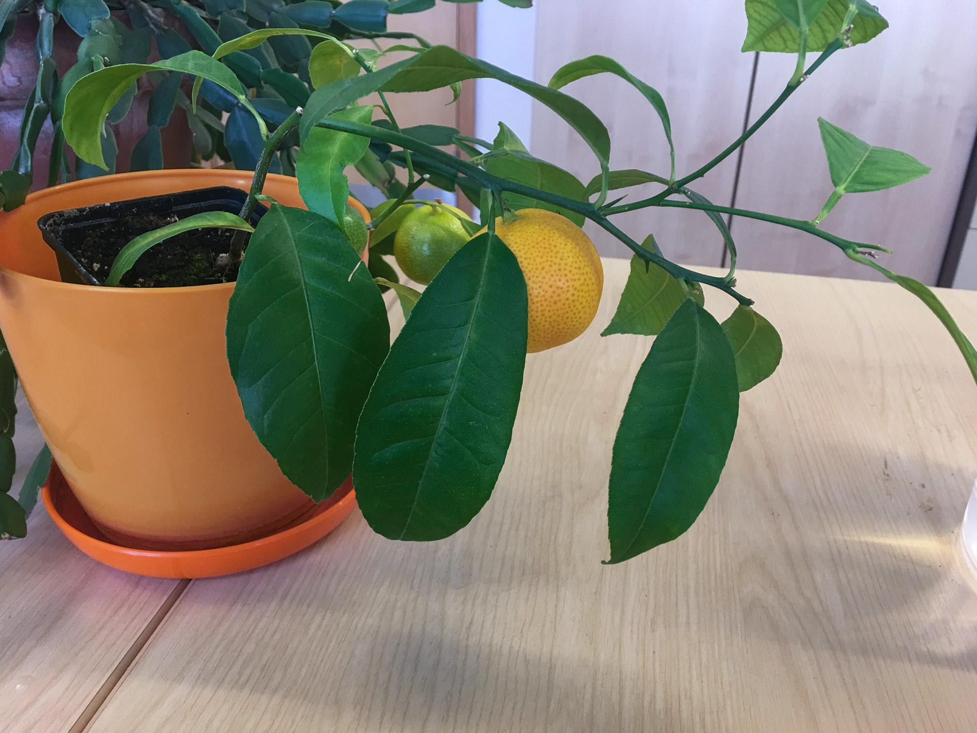 Mandarinas namuose