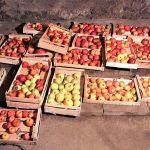 Obuolių laikymas žiemai