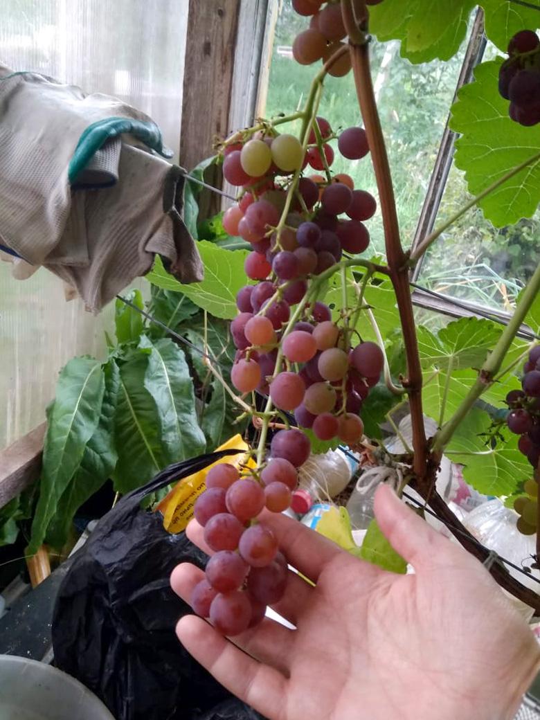 Vynuogė balkone